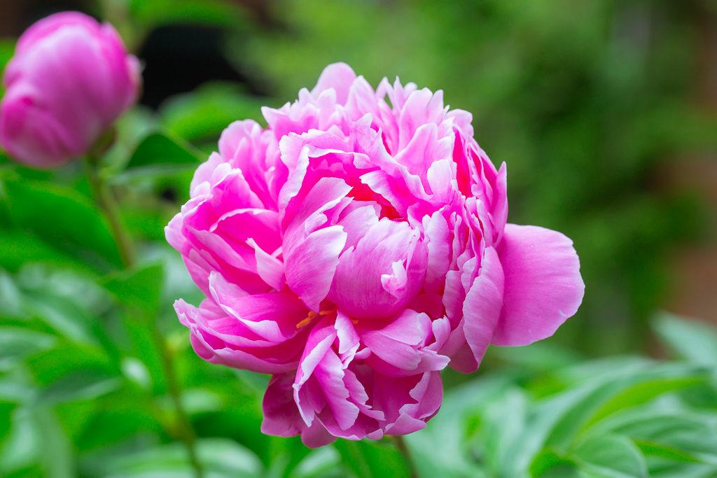 _OL_2899-rochester flower peony_W2