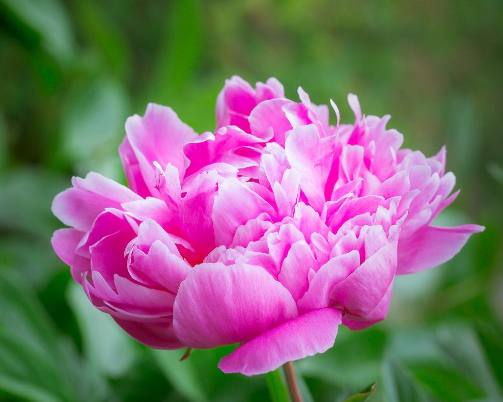 _OL_2902-rochester flower peony_W4