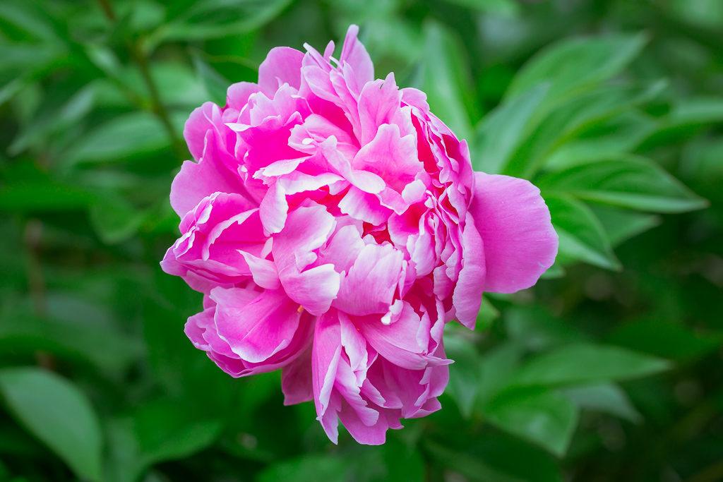 _OL_2905-rochester flower peony_W5