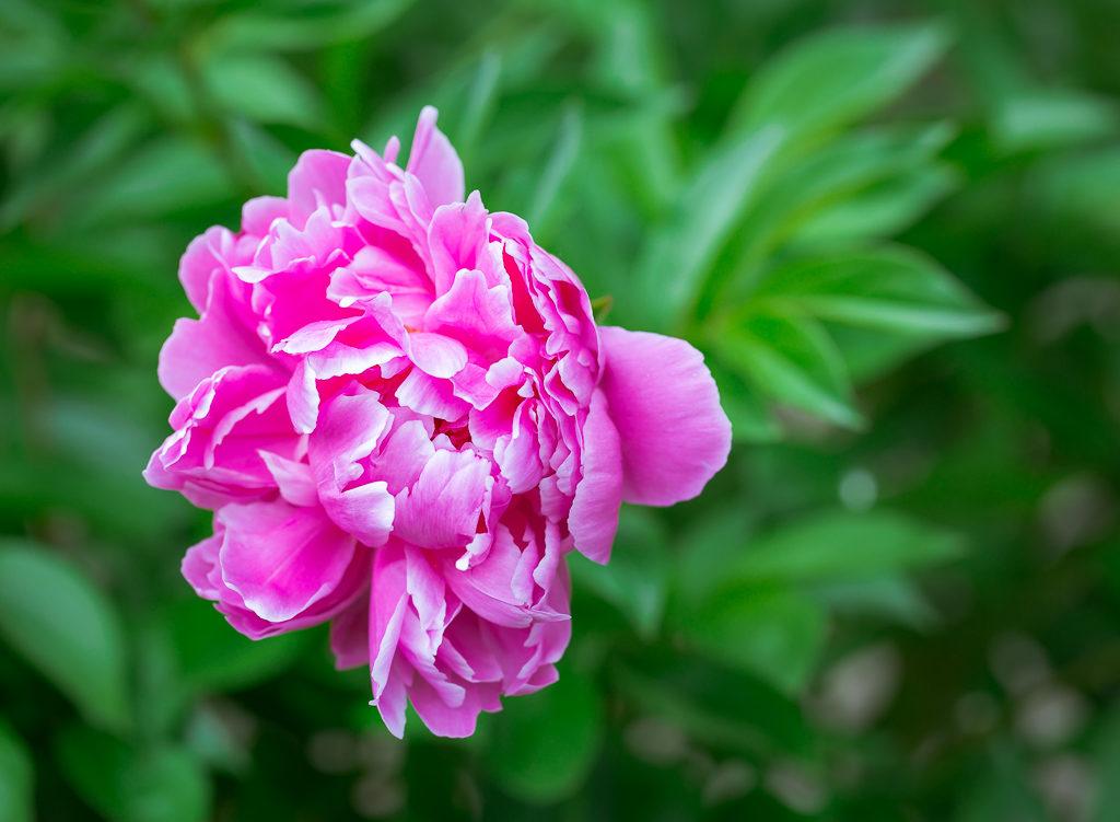 _OL_2913-rochester flower peony_W8