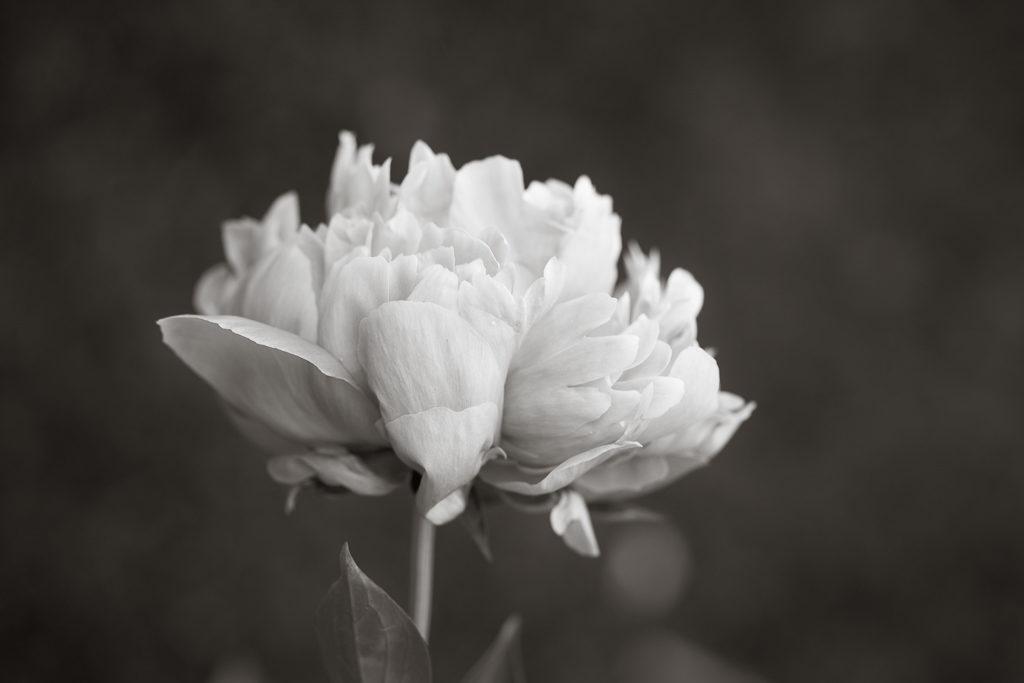 _OL_2918-rochester flower peony_W10