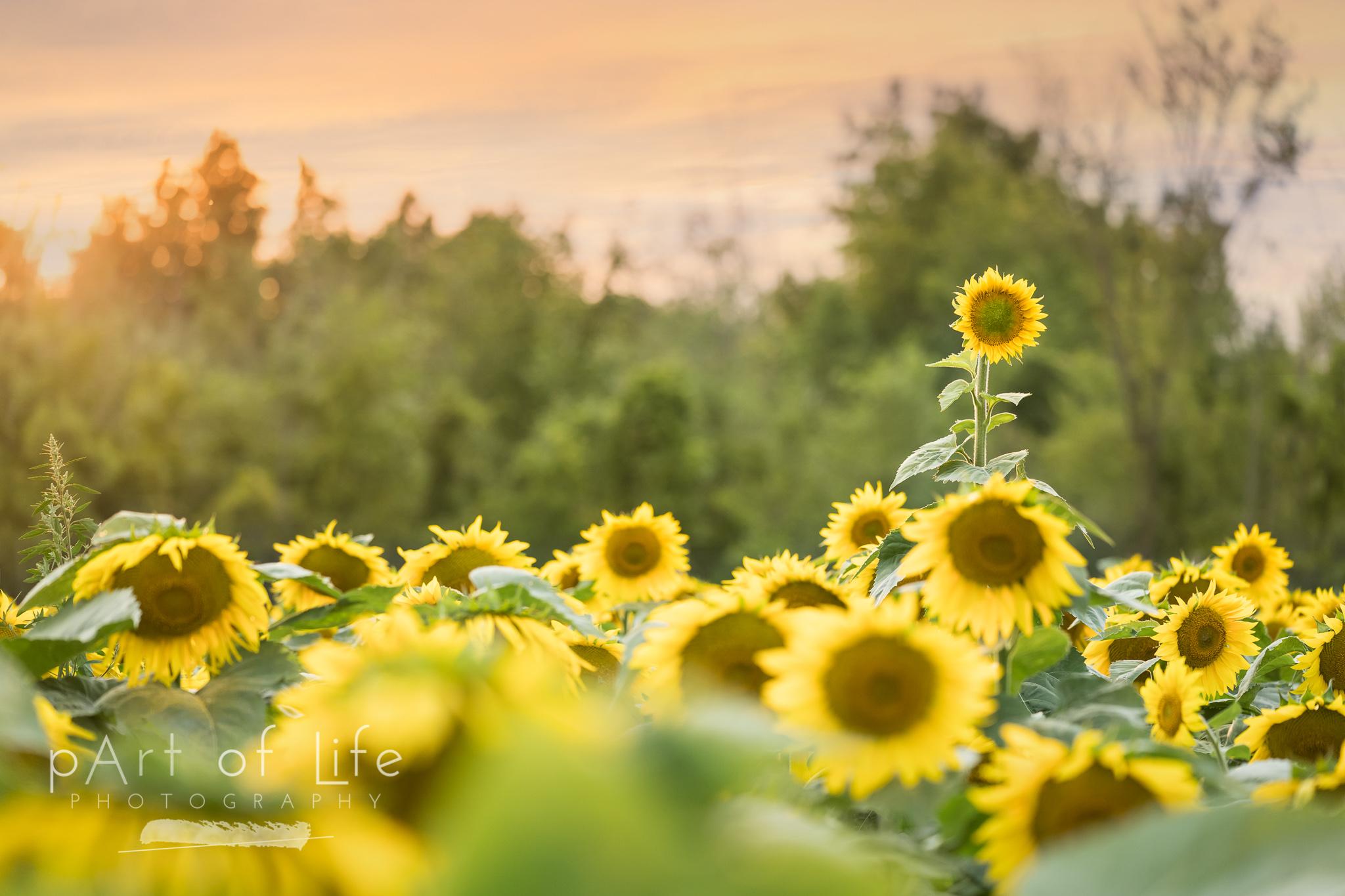 sunflower nature print